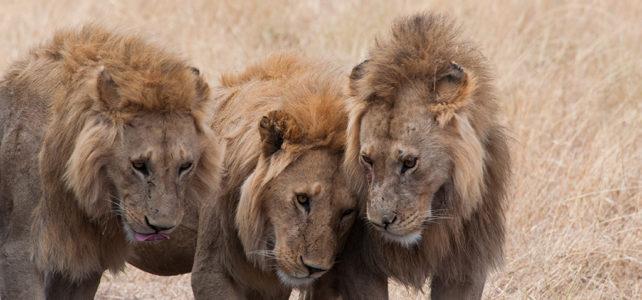 Safari in Tanzania – den Raubkatzen auf der Spur