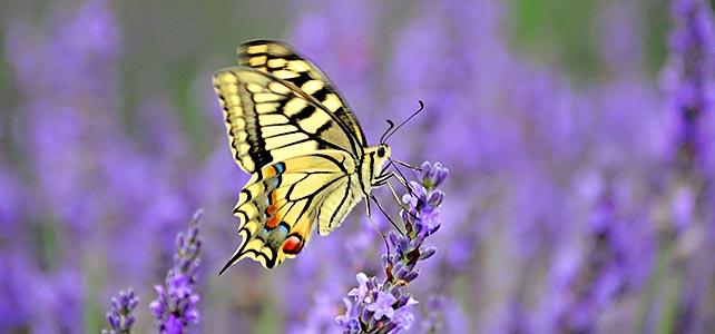 Lavendel, der Traum der Provence