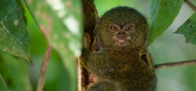 Die kleinste Affenart der Welt lebt in der Sacha Lodge