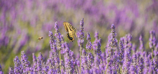In den Lavendelwochen kommt die Königin mit ihrem ganzen Volk zu Besuch